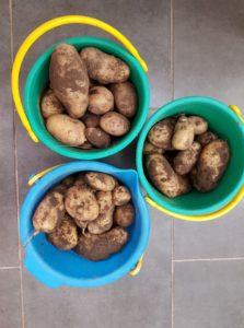 Unsere Kartoffelernte